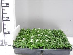 alyssum wit groen direkt