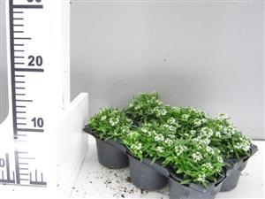 alyssum wit pot P9 groen direkt