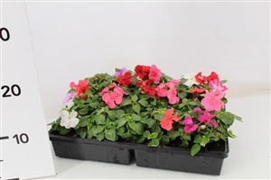 impatiens gemengd mix GD