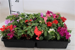 impatiens gemengd mix