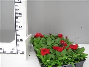 petunia rood groen direkt