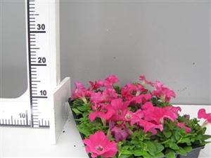 petunia roze groen direkt