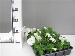 petunia wit groen direkt