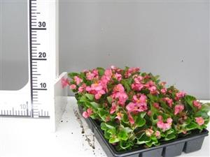 roze begonia groen direkt