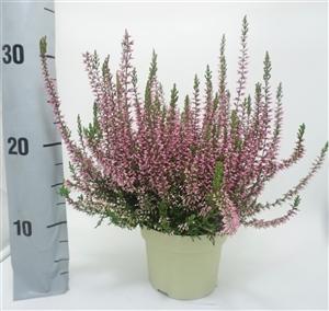 PinkBettina12cm1