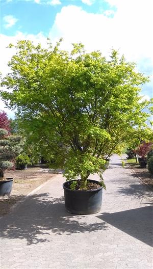 Acer palmatum 400-450