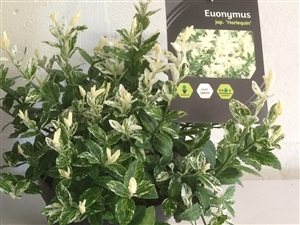 Euonymus Easy Green