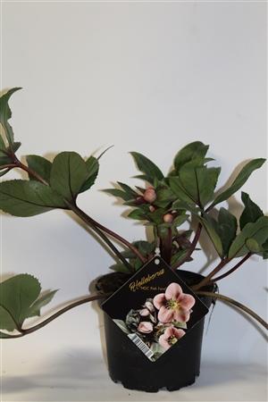 helleborus pink forost