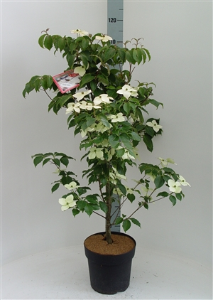 Cornus kousa 'Wieting's Select' 80 100 p24