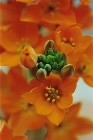 dubium oranje