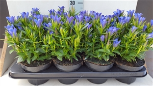Gentiana Big Diamond