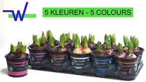 Hacint mix 12 cm 5 kleuren 3 per pot