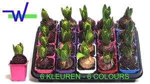 Hyacint mix 7 cm 6 kleuren 1 per pot
