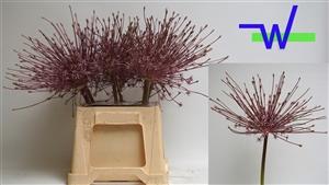 Allium Schurbertii 55 cm