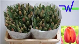 Tulipa Adrem