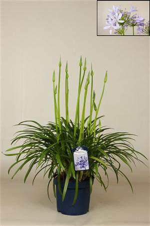 Agapanthus met bloem 23 cm blauw