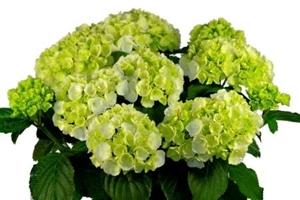 Clarissa   7 8 bloem(4)