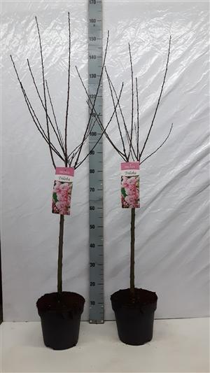 Triloba 3 5 60 cm duo