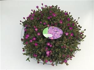 Delosperma schaal roze