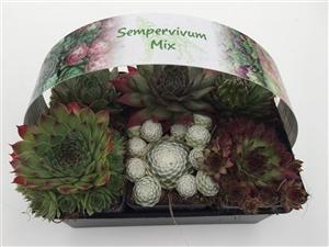 Sempervivum 6   pack