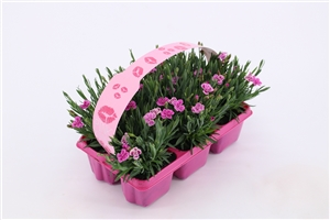 Dianthus Pink Kisses 6 pack (2)