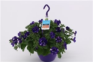 Petunia NightSky HP27 (4)