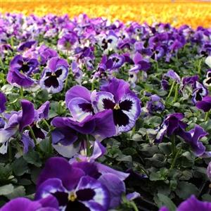 Kwekerij Baas ( Voorjaars violen paars