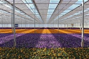 Voorjaars violen overzicht ( Kwekerij Baas)