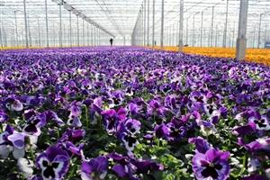 Voorjaars violen ( Kwekerij Baas)