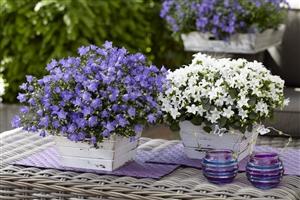 Spring Bell blauw en wit