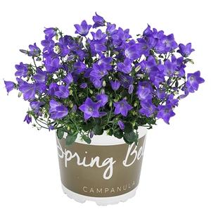 Spring Bell blauw