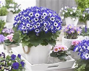 Senetti Blue Bicolor