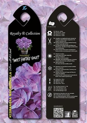 Hovaria Sweet Fantasy Violet