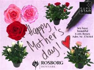 Rosborg 6 cm Roses
