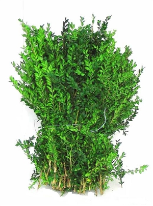 Buxus 5kg