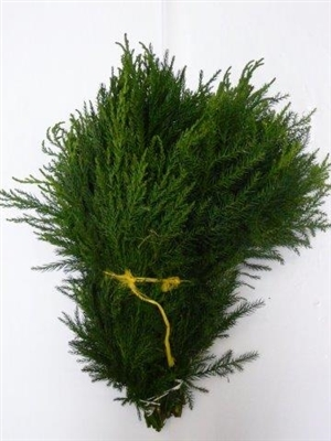 Cryptomeria