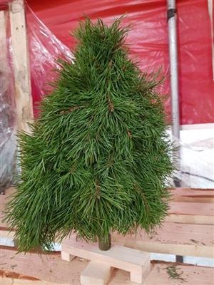 Boom Pinus Plat L40