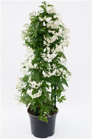 Solanum jasminoides Pyramide Den Haag T19