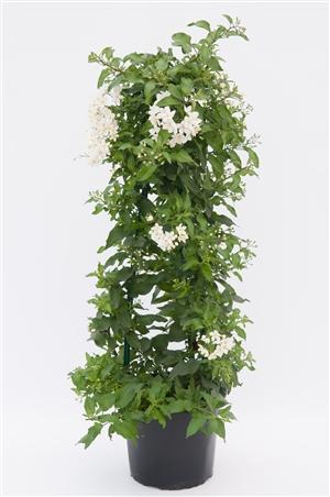 Solanum jasminoides T19