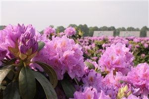 Rhodo cat Grandiflorum  (1)