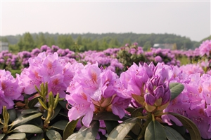 Rhodo cat Grandiflorum  (25)