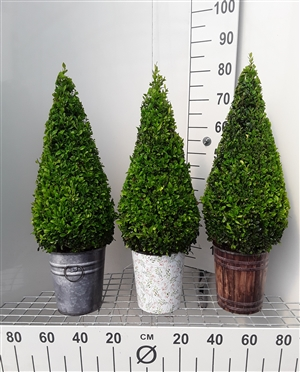 Buxus piramide 50 60 in 3 soorten pot