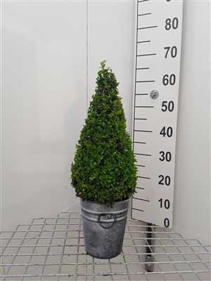 Buxus semp 40 50 piramide zinken look pot