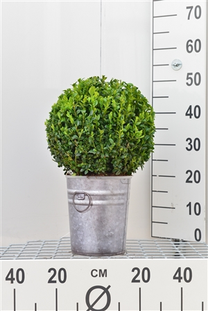 Buxus bol, 25 30 in zinken look pot