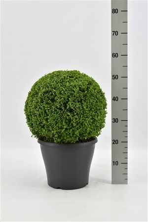Buxus sempervirens bol 30 35 pgd 30 (antraciet)