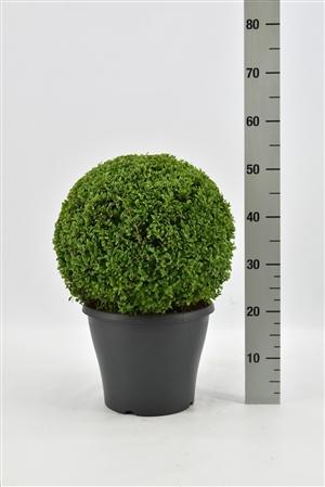 Buxus sempervirens bol 30 35 pgd 30 (antraciet)