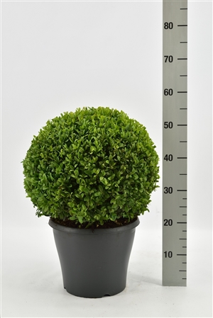 Buxus sempervirens bol 35 40 pgd 32 (antraciet)