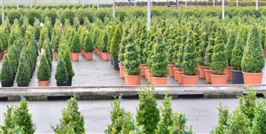 Buxus overview
