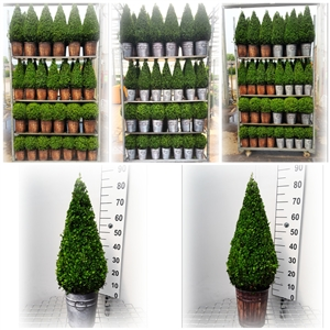 BUXUS ZINK   HOUT