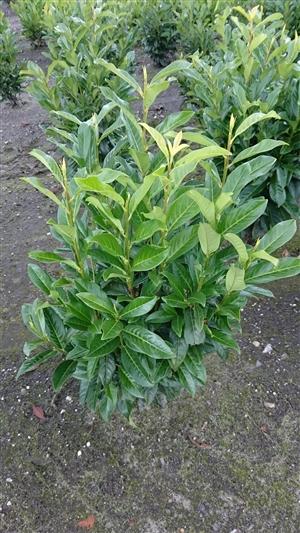 Prunus laur. Genolia 2
